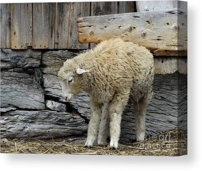 Sheep Farming In Orwell Vermont Canvas Print featuring the photograph Scratching Board by Karen Velsor