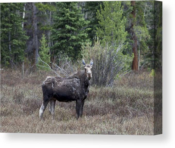 Moose Canvas Print featuring the photograph Shedding The Coat by Theo Bauder