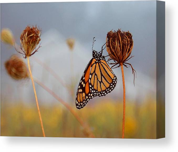 Monarch Butterfly Canvas Print featuring the photograph Sleeping Beauty by Linda Murphy