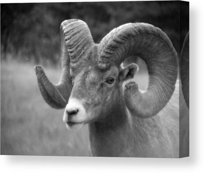 Animal Canvas Print featuring the photograph Soft Finish Ram by Tiffany Vest