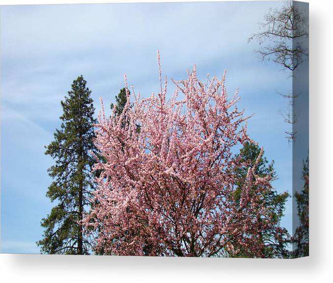 Trees Canvas Print featuring the photograph Spring Trees Bossoming Landscape Art Prints Pink Blossoms Clouds Sky by Baslee Troutman