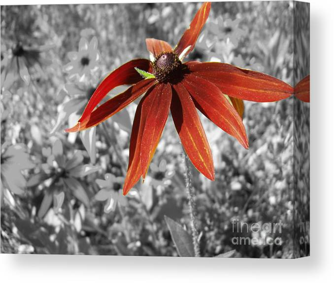 Black Eyed Susan Canvas Print featuring the photograph Stand Out by Cathy Beharriell