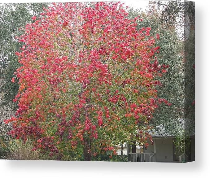 Trees Canvas Print featuring the photograph Study In Red by Paula Coley