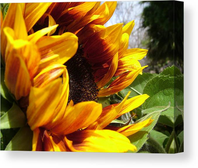 Sunflower Canvas Print featuring the photograph Sun Fire Flower by John Loyd Rushing