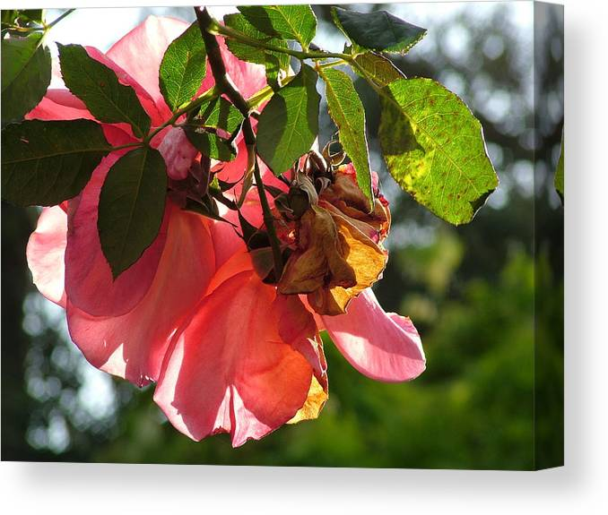 Sun Canvas Print featuring the photograph Sun Lit Rose by John Loyd Rushing