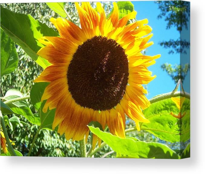 Sun Canvas Print featuring the photograph Sunflower 103 by Ken Day