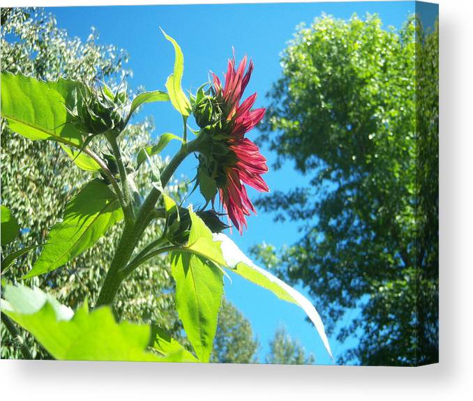 Sun Canvas Print featuring the photograph Sunflower 105 by Ken Day