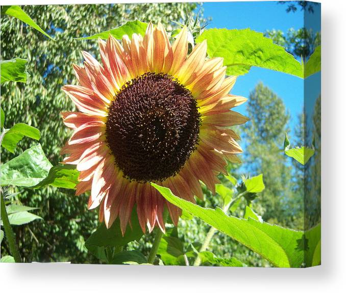 Sun Canvas Print featuring the photograph Sunflower 107 by Ken Day