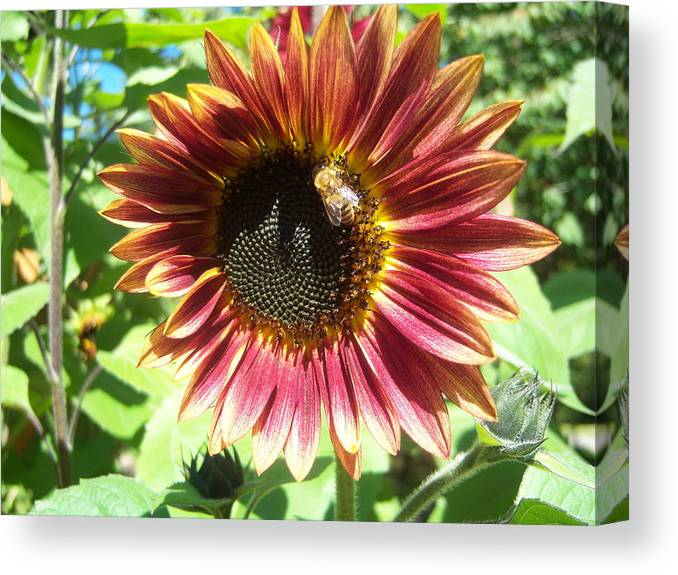 Sun Canvas Print featuring the photograph Sunflower 108 by Ken Day