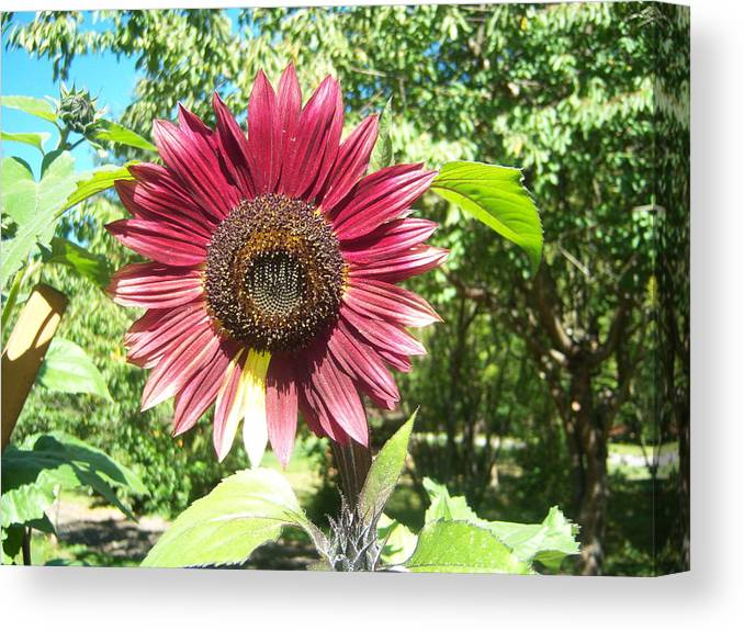 Sun Canvas Print featuring the photograph Sunflower 110 by Ken Day