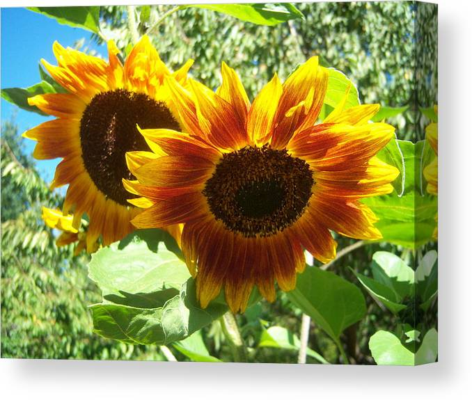 Sun Canvas Print featuring the photograph Sunflower 115 by Ken Day