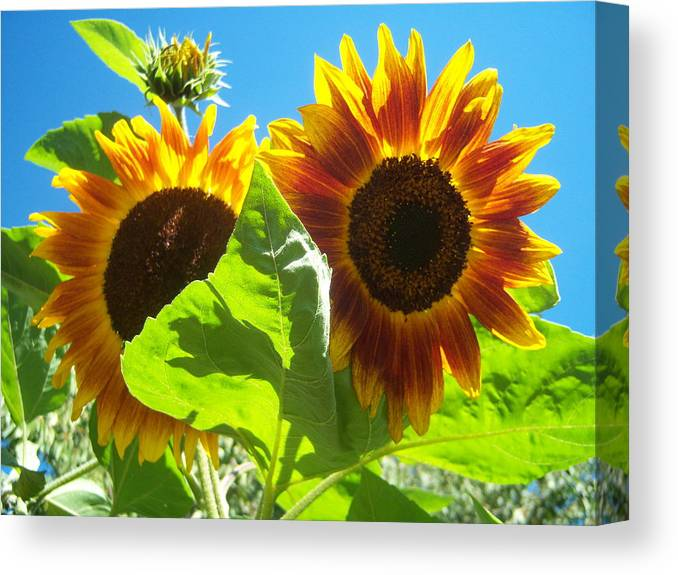 Sun Canvas Print featuring the photograph Sunflower 116 by Ken Day