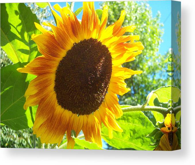 Sun Canvas Print featuring the photograph Sunflower 118 by Ken Day