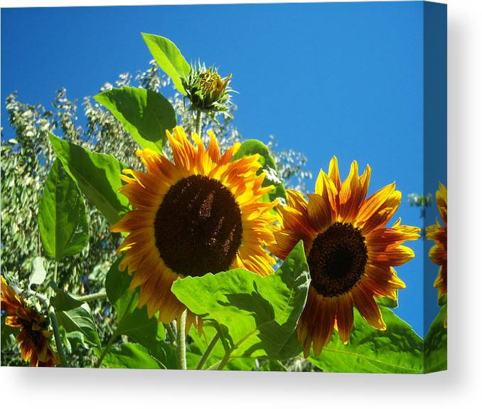 Sun Canvas Print featuring the photograph Sunflower 130 by Ken Day