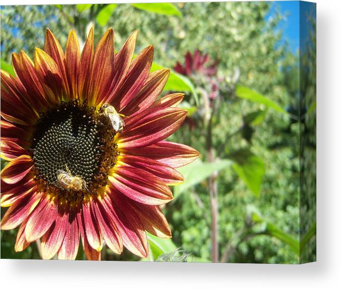 Sun Canvas Print featuring the photograph Sunflower 135 by Ken Day