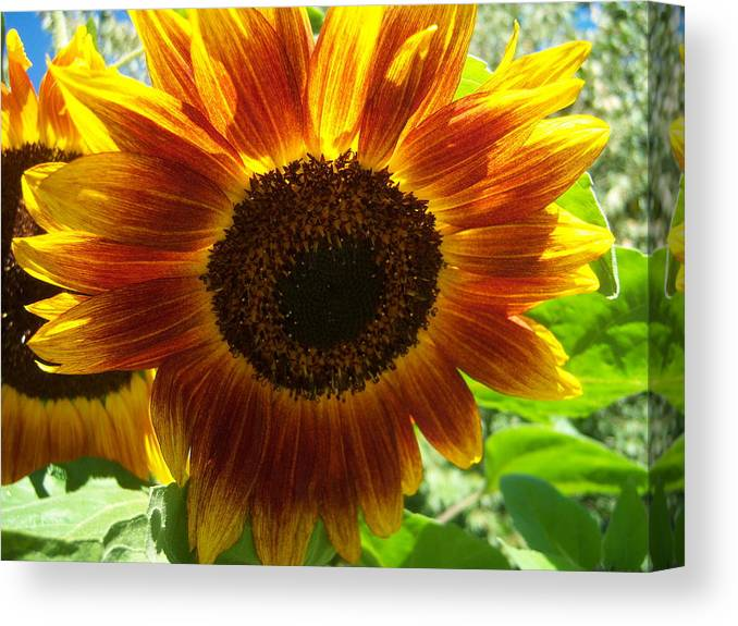 Sun Canvas Print featuring the photograph Sunflower 141 by Ken Day