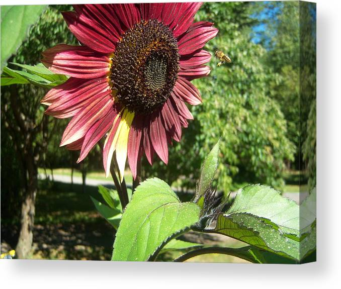Sun Canvas Print featuring the photograph Sunflower 143 by Ken Day