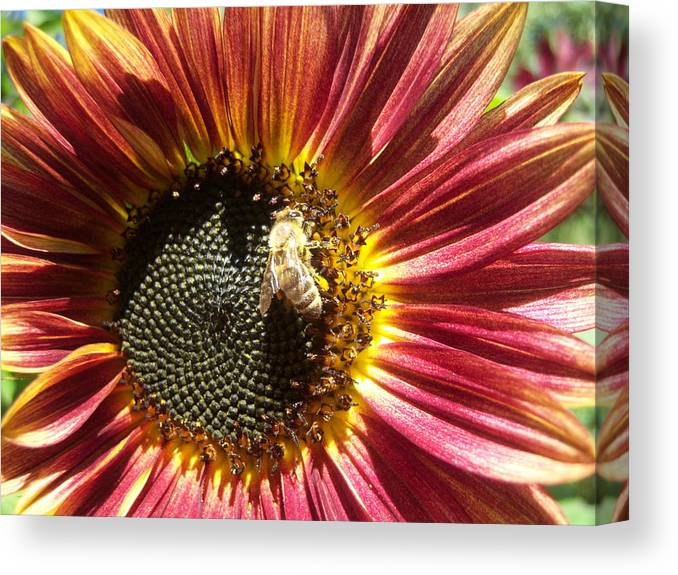 Sun Canvas Print featuring the photograph Sunflower 145 by Ken Day