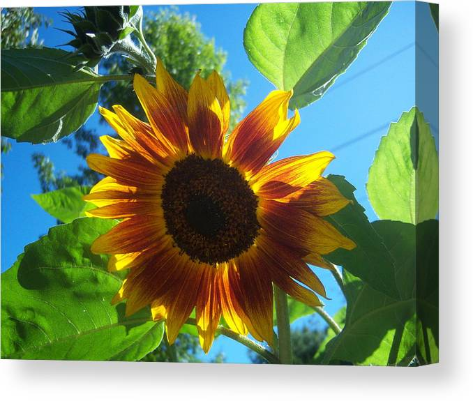 Sun Canvas Print featuring the photograph Sunflower by Ken Day