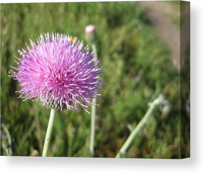 Thistle Canvas Print featuring the photograph Texas Thistle by Cindy Clements