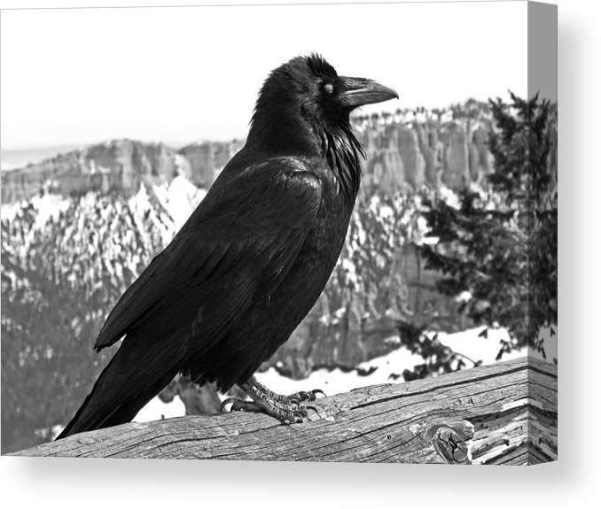 Black And White Canvas Print featuring the photograph The Raven - Black And White by Rona Black
