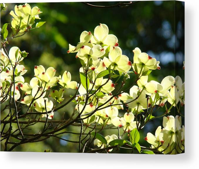 Dogwood Canvas Print featuring the photograph Trees Landscape Art Sunlit White Dogwood Flowers Baslee Troutman by Baslee Troutman
