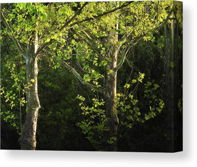 Maple Canvas Print featuring the photograph Branches Of Lovely Light by Laura Ragland