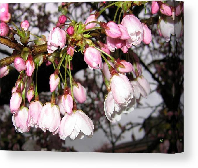 Cherry Blossoms Canvas Print featuring the photograph Vancouver Cherry Blossoms by Will Borden