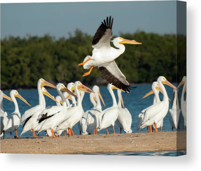 White Pelican Canvas Print featuring the photograph White Pelican In Flight by Diane Luke