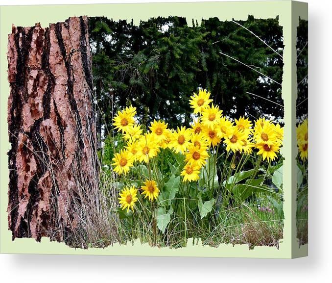 Wild Oyama Sunflowers Canvas Print featuring the photograph Wild Oyama Sunflowers by Will Borden