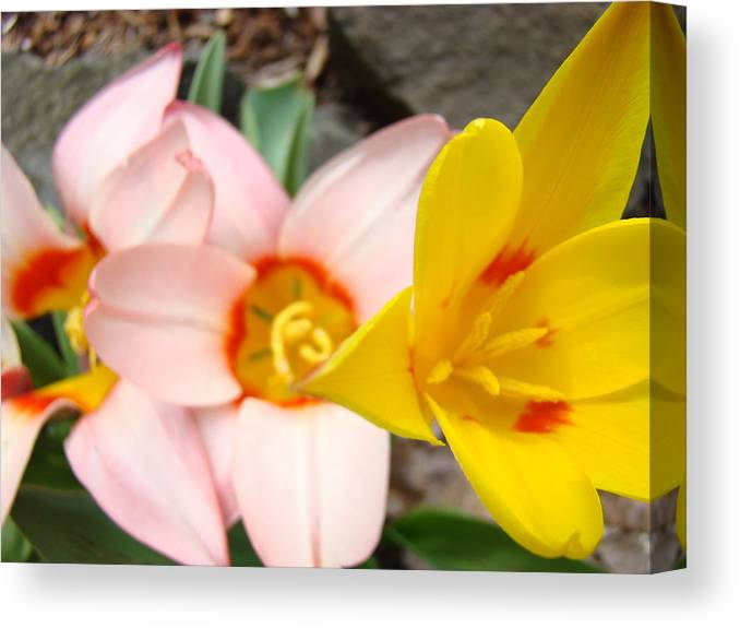 Tulip Canvas Print featuring the photograph Yellow Tulips Art Prints Pink Tulips Spring Florals Baslee Troutman by Baslee Troutman