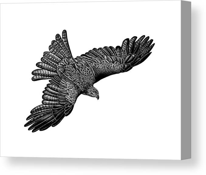 Black Kite Canvas Print featuring the drawing Flying Black Kite by Loren Dowding
