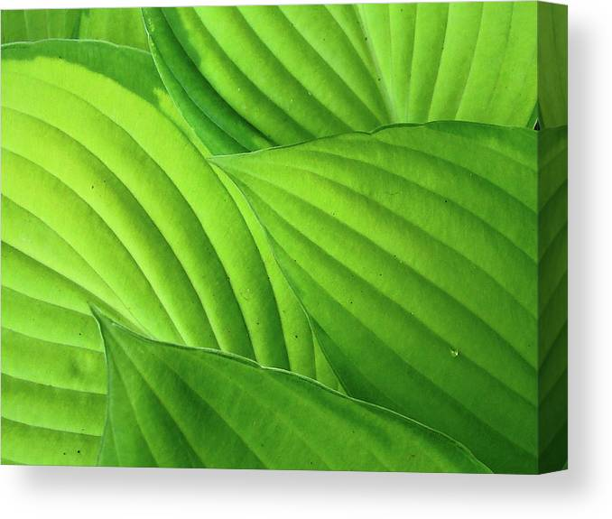 Natural Pattern Canvas Print featuring the photograph Hosta Leaves by Photograph By Judith Green