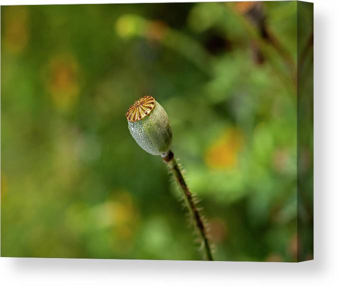 Shirley Poppy Canvas Print featuring the photograph Shirley Poppy 2018-20 by Thomas Young