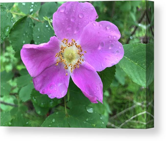 Wild Rose Canvas Print featuring the photograph Wild Rose by Norman Burnham