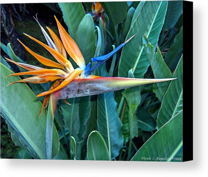 Flowers Canvas Print featuring the photograph Bird Of Paradise by Nicole I Hamilton