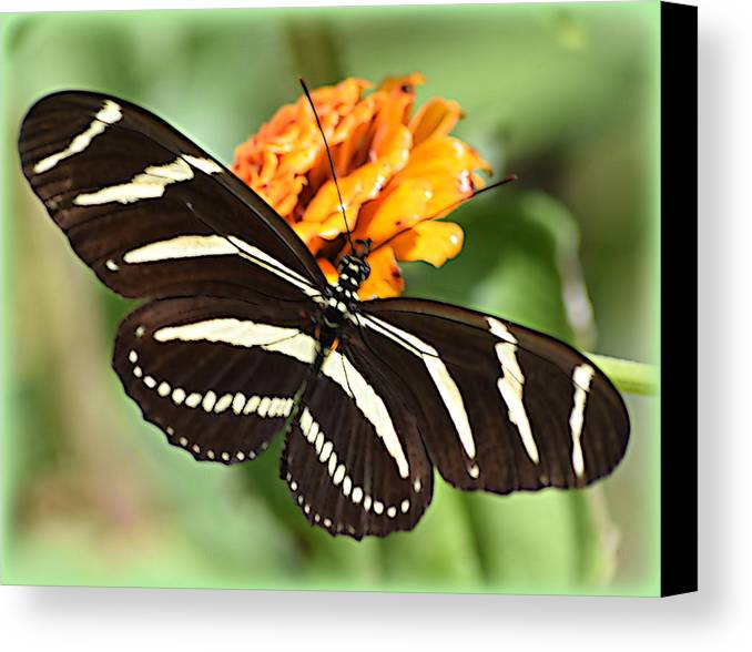 Butterfly Canvas Print featuring the photograph Zebra Butterfly Beauty 1 by Sheri McLeroy