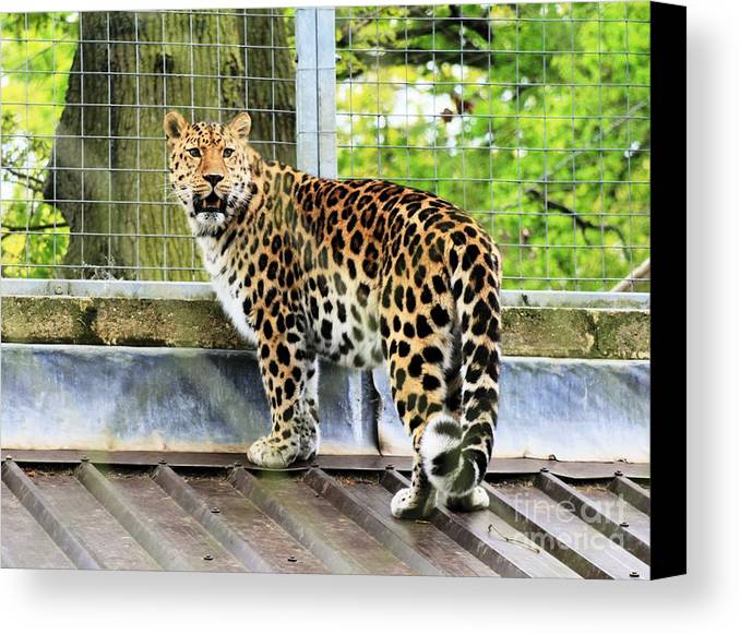 Leopard Canvas Print featuring the photograph Leopard 3 by Ruth Hallam