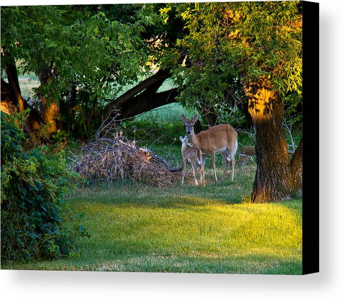 Deer Canvas Print featuring the photograph Mom And Baby by Dave Lines