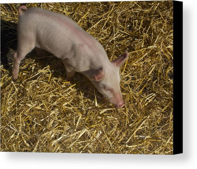 Pig. Piglet. Hoof. Straw. Beacon.snout. Ears. Pink. Tail. Nature. Outdoors. Farm. Animal. Wildlife. Ham. Cooking. Food. Feeding. Roast Pig. Canvas Print featuring the photograph Pig. Yummy Roasted by Michael Clarke JP
