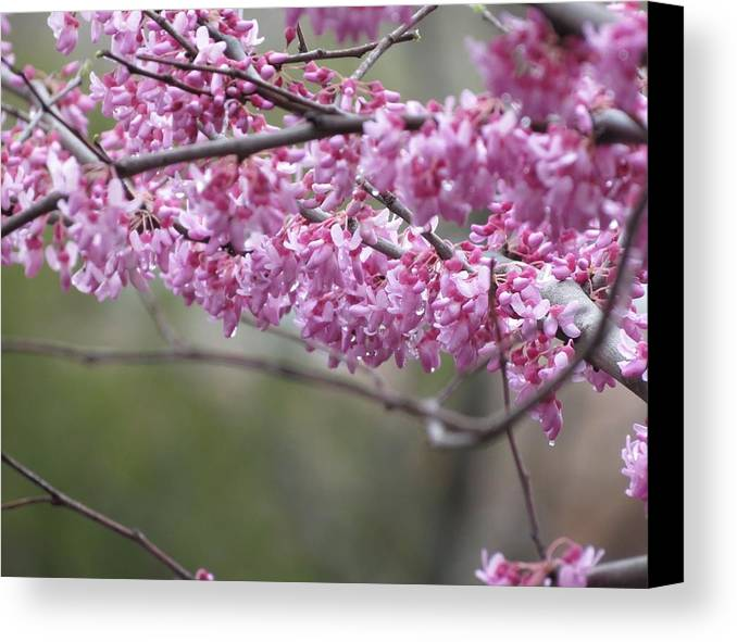 Redbud Canvas Print featuring the photograph Redbud Tree In Spring by Rebecca Overton