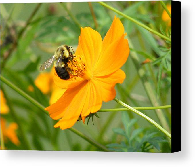 Photography Canvas Print featuring the photograph Busy Bee by Margaret G Calenda