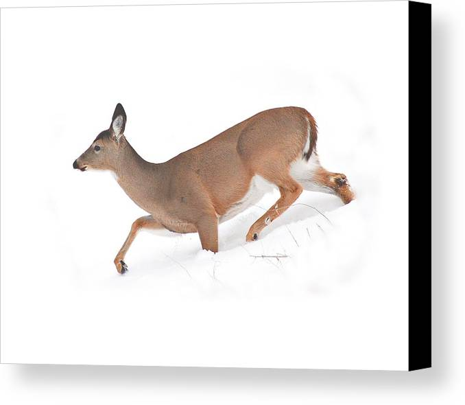 Deer Canvas Print featuring the photograph Doe In Deep Snow by Carol Deltoro