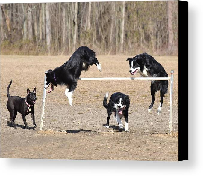 Border Collie Canvas Print featuring the photograph Dog 380 by Joyce StJames