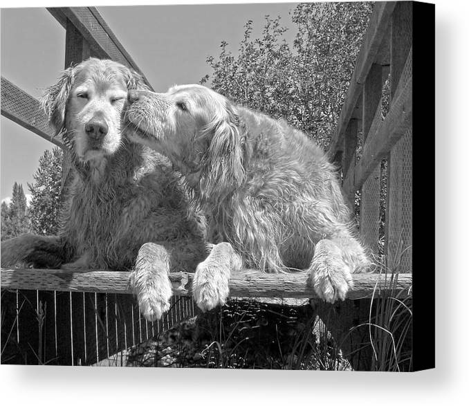 Golden Retriever Canvas Print featuring the photograph Golden Retrievers The Kiss Black And White by Jennie Marie Schell