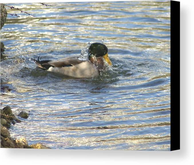 Ducks Canvas Print featuring the photograph Just Ducking Around by Debbie May