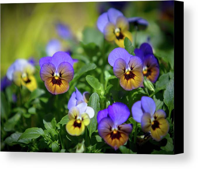 Atlanta Canvas Print featuring the photograph Purple Pansies by Mark Chandler