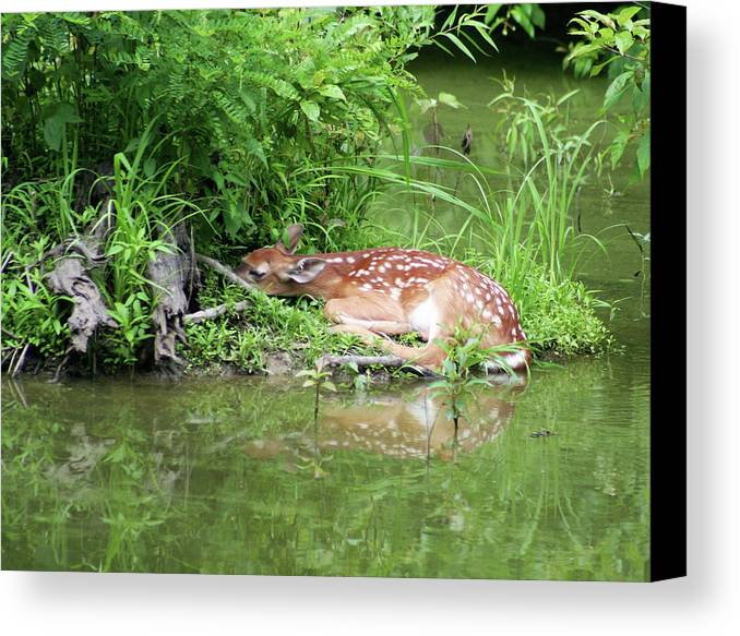 Photograph Canvas Print featuring the photograph Sleep Fawn White Tailed Deer by Linda Pearson