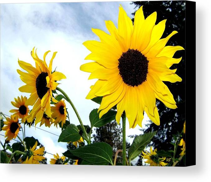 Sunflowers Canvas Print featuring the photograph Sunny Slopes by Will Borden