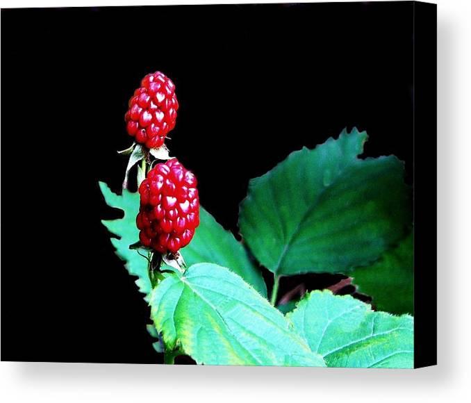 Black Berries Canvas Print featuring the digital art Unripe Blackberries by Kenna Westerman